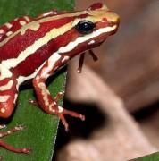 Las toxinas presentes en la piel de la rana Epipedobates Tricolor fueron usadas para desarrollar un fármaco más potente que la morfina. Foto: Wikipedia. Cortesía El Comercio