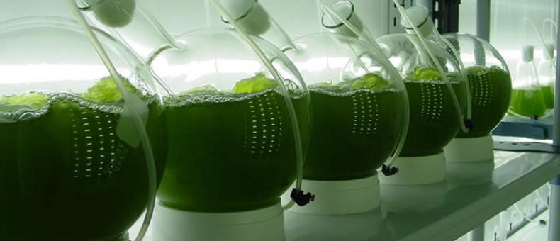 Microalgas (FOTO CORTESÍA: AGENCIENCIA).
